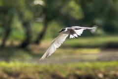 Around the pond. Breeding plumage Stock Images