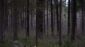 Around shooting in the pine forest stock video footage