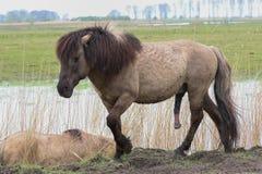 Aroused konik horse Royalty Free Stock Photos