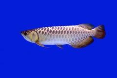 Arowana鱼,充分的金子 库存照片