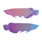 Arowana łowi odosobnionego wektorowego ilustracyjnego kolorowego słodkowodnego azjatykciego symbol bogactwo Obrazy Royalty Free
