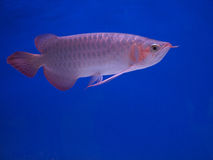 Arowana Royalty Free Stock Images