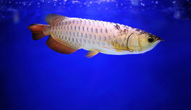 Arowana. Royalty Free Stock Photos