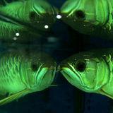 Arowana Fotos de Stock Royalty Free