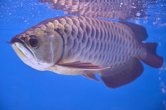 Arowana asiatique images stock