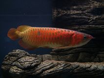 Arowana asiatique Photo libre de droits