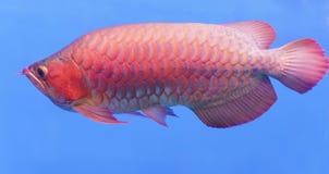 Arowana dans l'aquarium Photographie stock