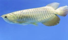 Arowana dans l'aquarium Photo libre de droits