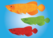 Arowana dragon fish. In blue background Royalty Free Stock Image