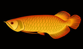 Arowana. Dragon fish  craphic Royalty Free Stock Photo