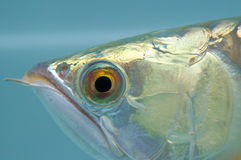 Arowana eye. Exotic pet, arowana. Arowana is one of the luxury pet Stock Photography