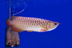 Arowana Fish Stock Images