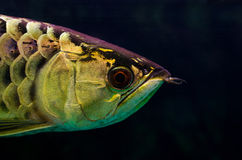 Arowana Royalty Free Stock Photo