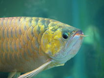 Arowana fish for fortune acts. Pets for luck royalty free stock photography