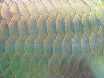 Arowana fish for fortune acts. Pets for luck stock image