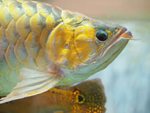 Arowana fish for fortune acts. Pets for luck stock photos