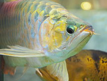 Arowana fish for fortune acts. Pets for luck stock photo
