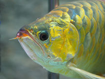 Arowana fish for fortune acts. Pets for luck stock images