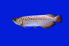 Arowana fish , Full gold Stock Photo