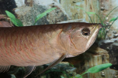 Arowana fish (half body). Stock Photos