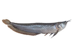 Arowana fish (Osteoglossum biccirhosum) isolated on white Stock Photo