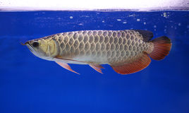 Arowana fish, pet Stock Photos