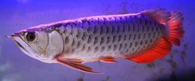 Arowana fish with red fin Royalty Free Stock Photos