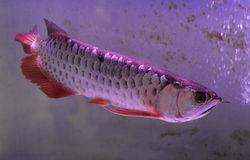 Arowana fish with red fin Royalty Free Stock Photos