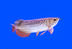 Arowana fish red tail. On blue background Royalty Free Stock Photo