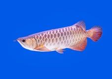 Arowana fish red tail Royalty Free Stock Image