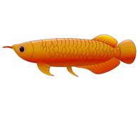 Arowana fisk på vit bakgrund Vektor Illustrationer