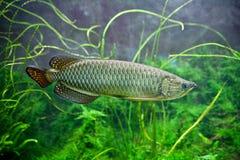 Arowana im Aquarium mit grünem Hintergrund Lizenzfreie Stockfotografie