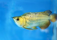 Free Arowana In Aquarium, This Is A Favorite Fish With Long Body, Beautiful Dragon Shape Colorful Stock Images - 111993984