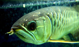Arowana Royalty Free Stock Photography