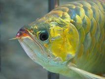Arowana ryba dla pomyślność aktów Obrazy Stock