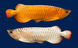 Arowana (Scleropages Formosus) Royalty Free Stock Photography