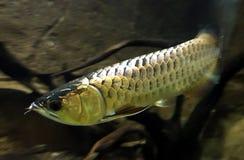 Arowanas is zoetwater knokige vissen van de familie Osteoglossidae stock foto's