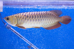 Arowena-Fisch-Reihe Lizenzfreie Stockfotos