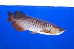 Arowena-Fisch-Reihe Stockfoto