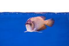 Arowena-Fisch-Reihe Lizenzfreie Stockbilder
