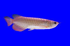 Arowena fish Stock Image