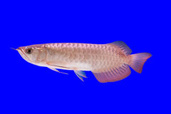 Arowena fish Royalty Free Stock Image