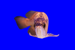 Arowena fish Royalty Free Stock Images