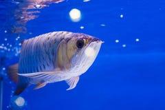 Arowena fish Stock Images