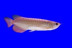 Arowena fisk Fotografering för Bildbyråer
