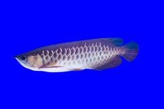 Arowena fisk Royaltyfri Foto