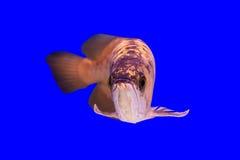 Arowena fisk Royaltyfria Bilder