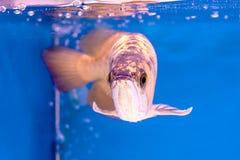 Arowena ryba serie Zdjęcia Royalty Free