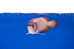 Arowena ryba serie Obrazy Royalty Free
