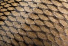 Сarp squama fish background Stock Photo